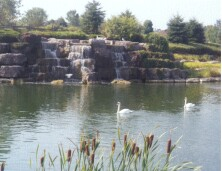 Swans near waterfall, at entrance to VBA